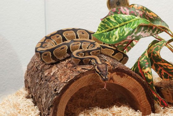 5 things to keep in mind when getting a snake as a pet pet portal rh zet or at house snake pets house pet sharks